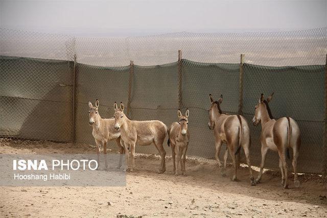 شروع دور جدید انتقال گورخرهای ایرانی به سمنان