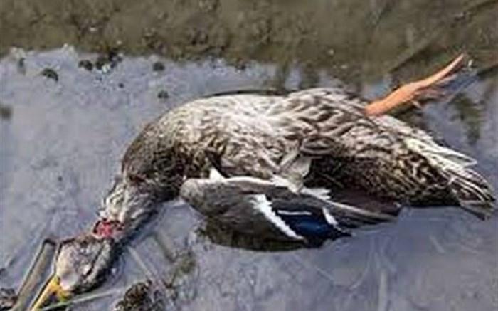 آنفلوانزای فوق حاد پرندگان در طیور صنعتی کشور مشاهده نشده است