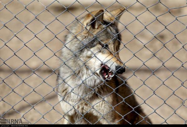 خبرنگاران گرگ های پردیسان، از طبیعت رانده و بی جا مانده
