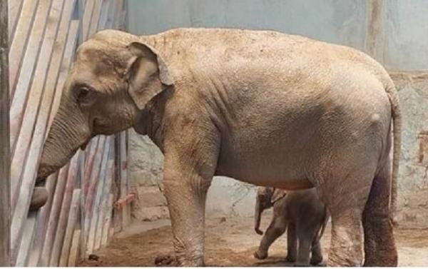آخرین شرایط بچه فیل ارم و ماده گورخر آفریقایی